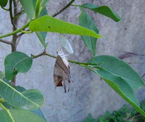 Ruddy daggerwing emerging from chrysalis about four days later